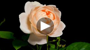 環境映像花の開花微速度撮影イメージ