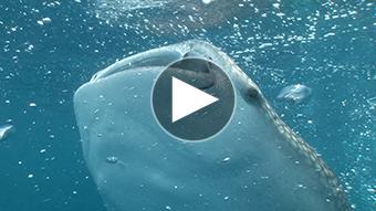 環境映像ジンベイザメ捕食イメージ
