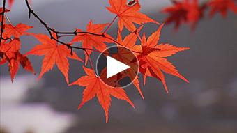 環境映像紅葉イメージ